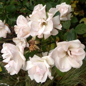 aspirin-rose-2016